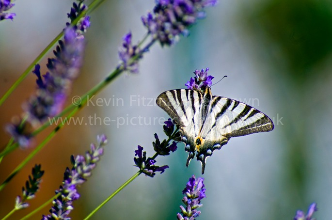 ' SCARCE ' OR ' SAIL ' SWALLOWTAIL BUTTERFLY SEEN IN TUSCANY ITA